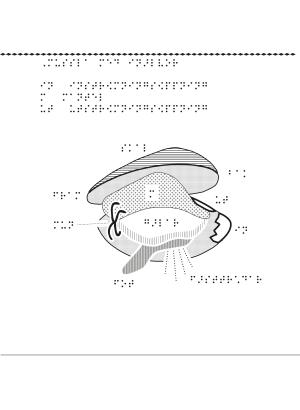 En bild på en mussla i genomskärning.