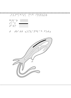 En bild på en bläckfisk i genomskärning.