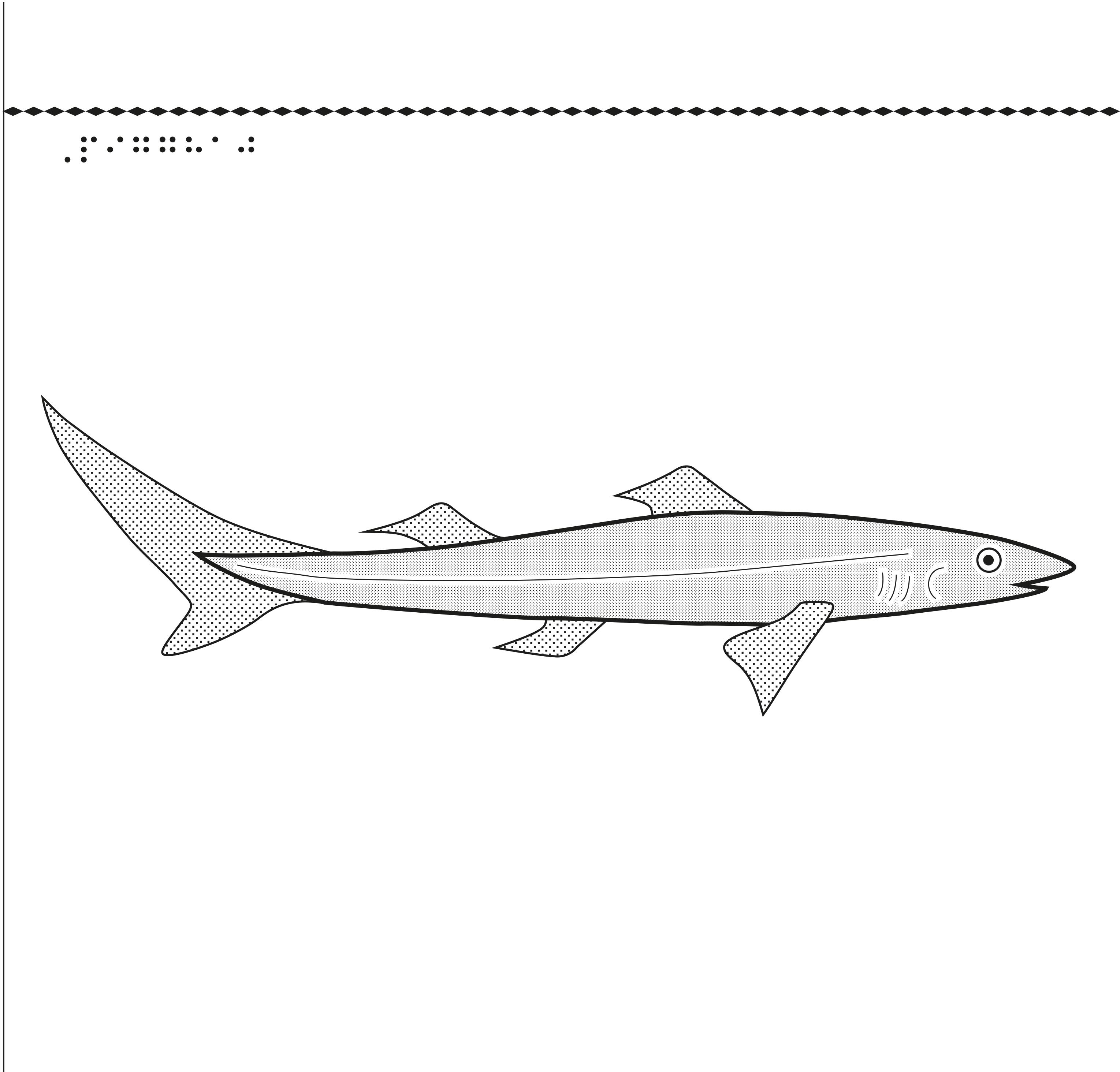 En bild på en liten sorts haj, pigghaj.