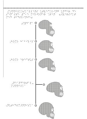 Människoskallens utveckling i fem steg.