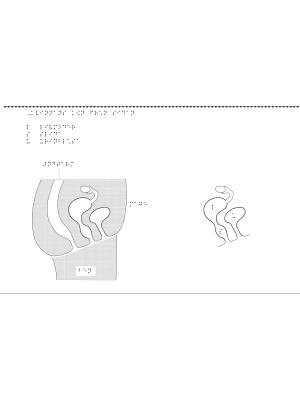 Kvinnligt kön i genomskärning från sidan, i relief.