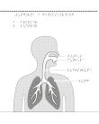 Överkropp med lungor i genomskärning.