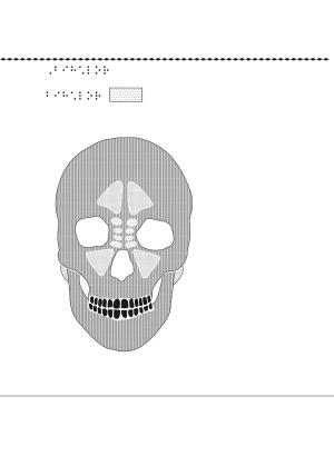 Mänskligt kranium framifrån med bihålor markerade.