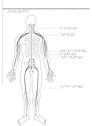 Kroppens nervsystem.