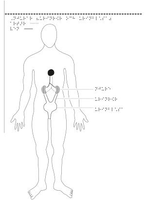 Man framifrån med njurar markerade.