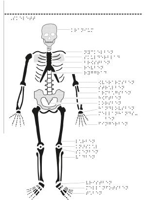 Manligt skelett framifrån med punktskrift.