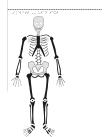 Manligt skelett framifrån.