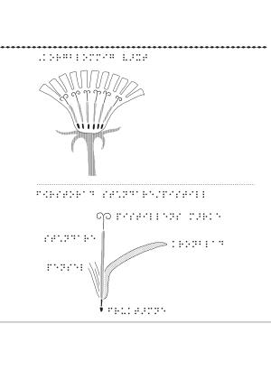 Korgblommig växt.