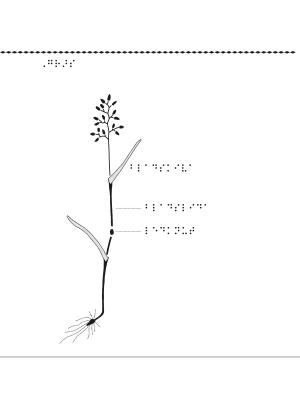 Gräs i genomskärning.