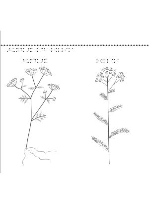 En bild på blomman hundkex och blomman röllika.