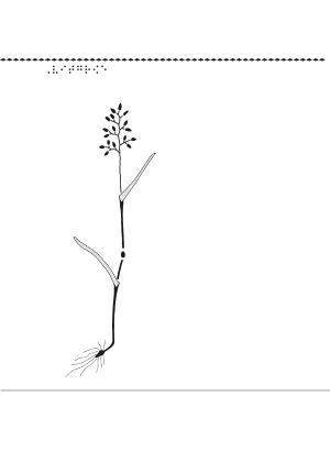 En bild på vitgröe.