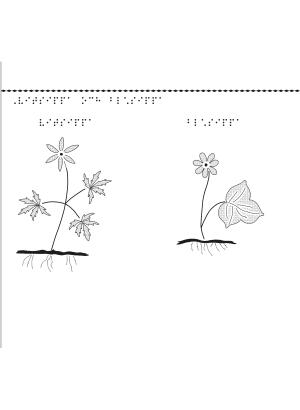 En bild på blommorna vitsippa och blåsippa.