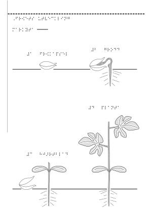 En bild som visar hur fröet utvecklas till en blomma.