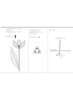 En enhjärtbladad tulpan, gömfröig växt.