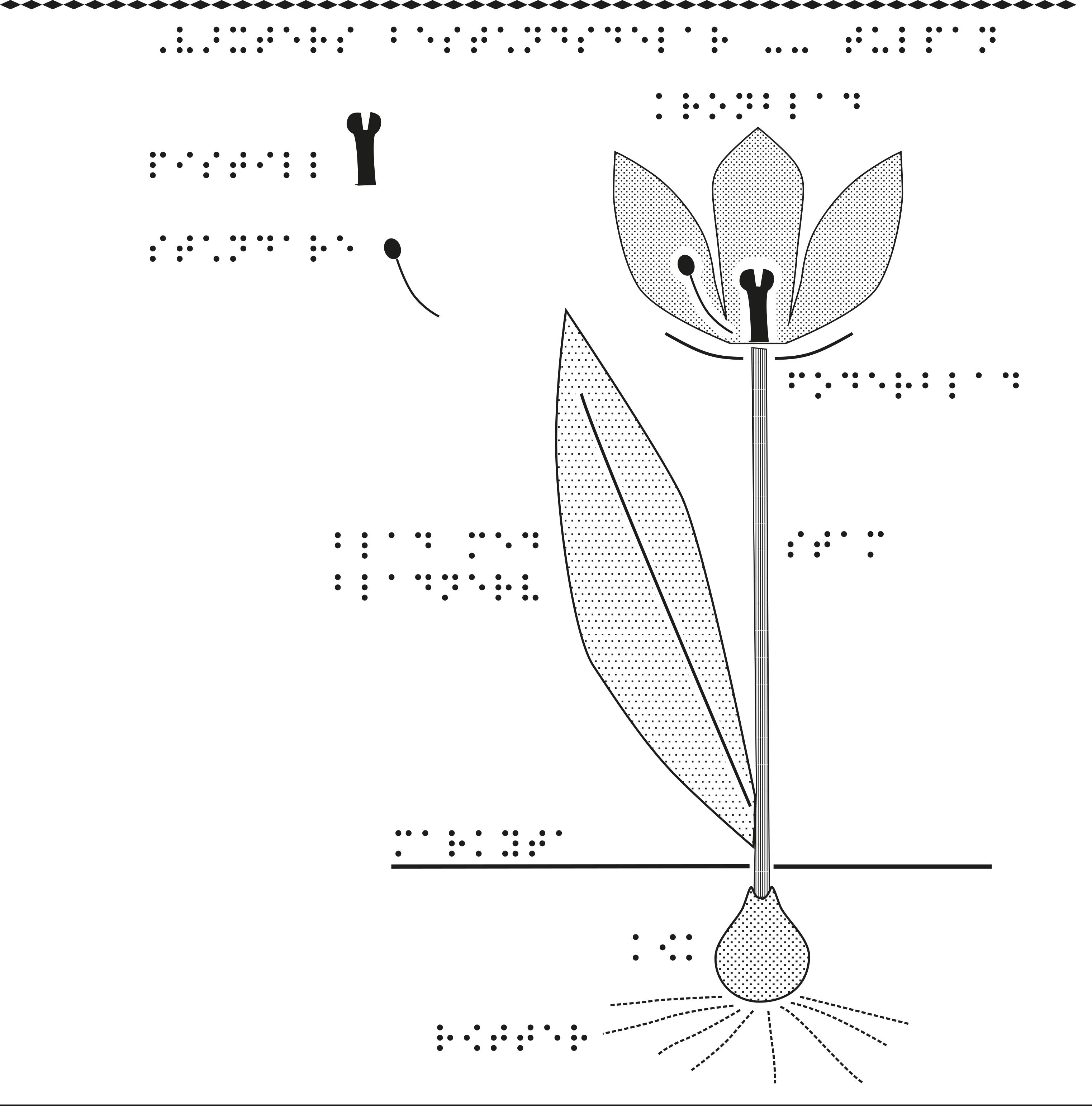 En tulpan. växters olika beståndsdelar.