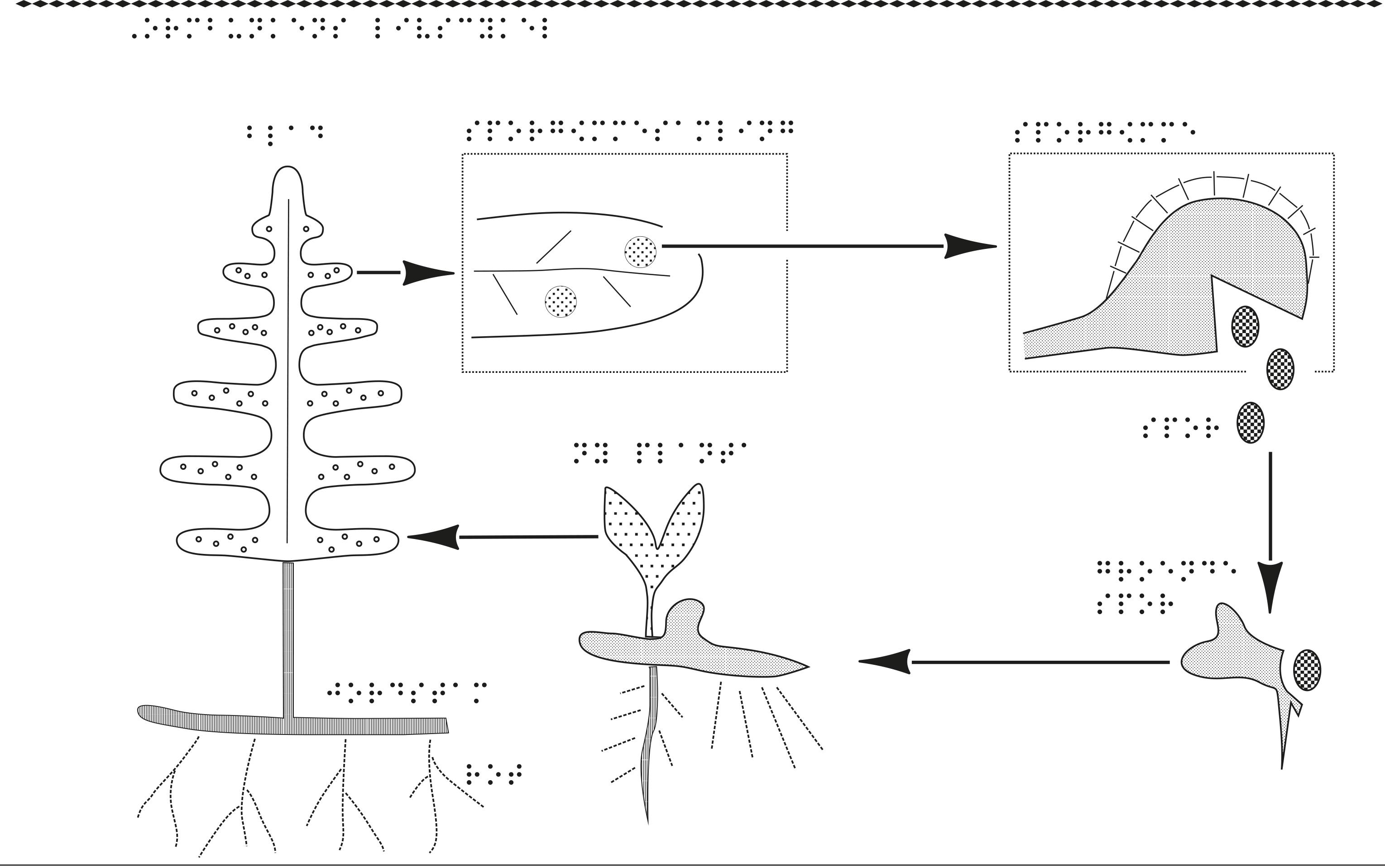 En bild på ormbunkens livscykel.